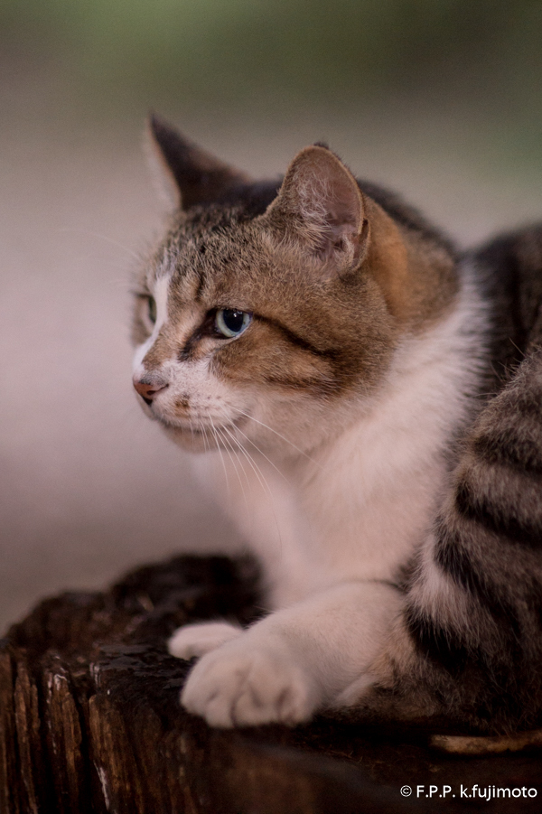 猫 ライオンキング
