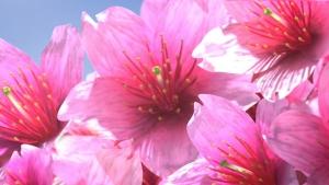 堀切サラ/きみの名の桜を咲かそう0009