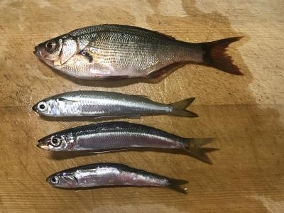 2018年9月23日 魚種