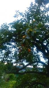 180821 柿