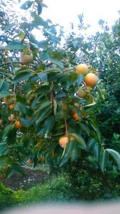 180912 かきの木