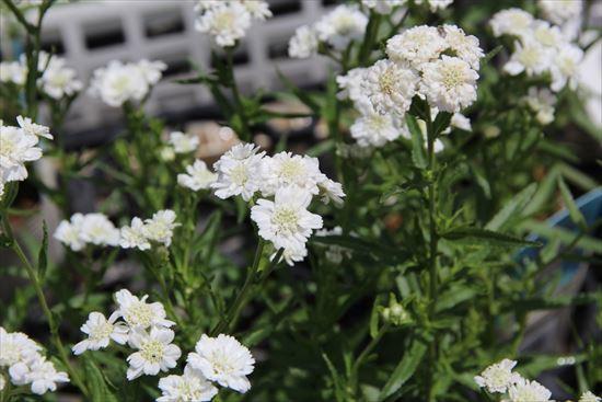 八重咲きアキレア ゆきてまり