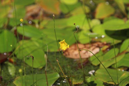 大花糸狸藻1