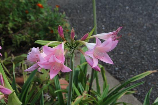 インドハマユウ ピンク1