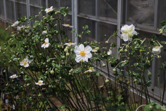 秋明菊s2