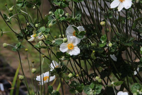 秋明菊s1