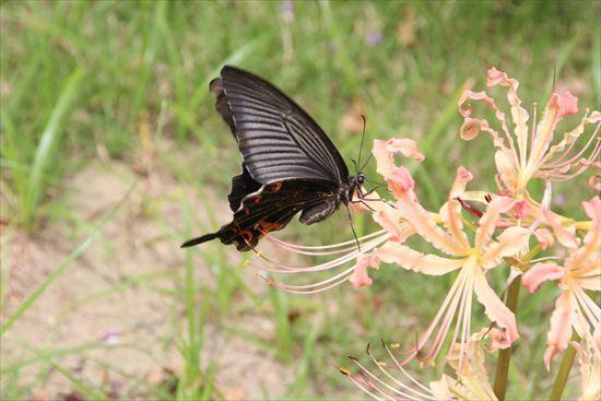 リコリス 蝶