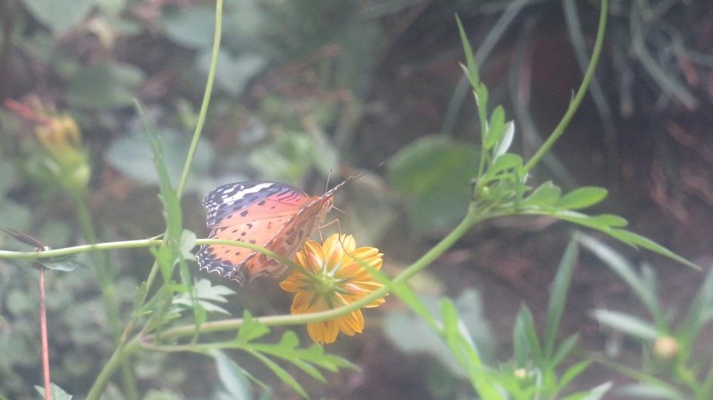 庭の蝶IMG_4759