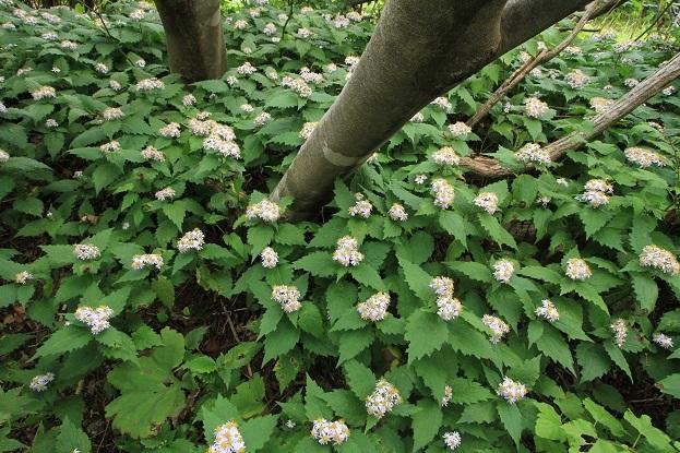 タマバシロヨメナ1