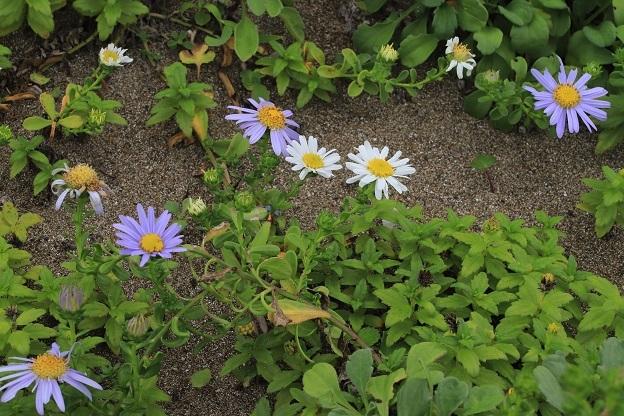 ハマベノギク 白花