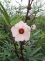 H30.9.11ピンク花ローゼルの花@IMG_6376
