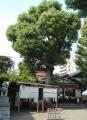 日枝神社・御神木
