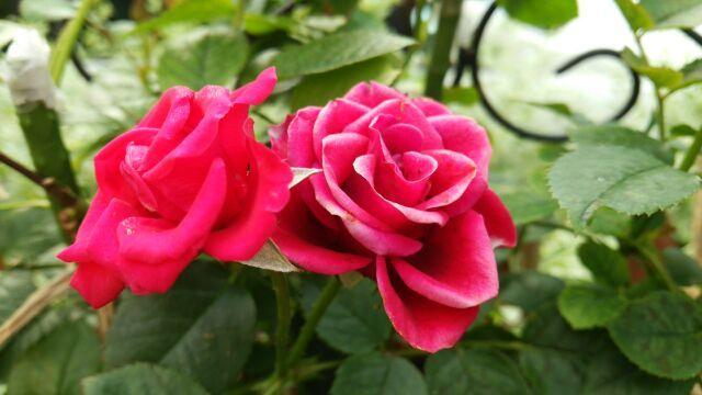 薔薇おぢさん宅の3番薔薇