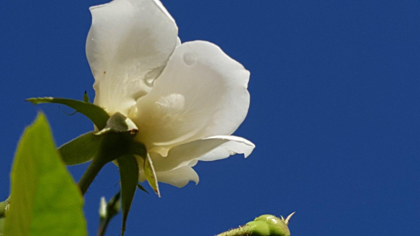 青い空と白い薔薇