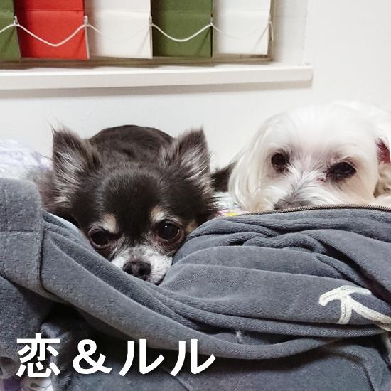 マルチーズ・恋&チワワ・ルル
