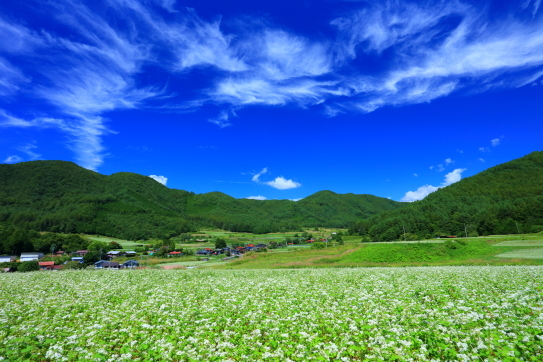 青空に雲の映える木曽開田の蕎麦畑