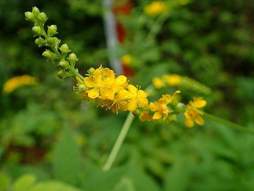 s-黄色の花20180830