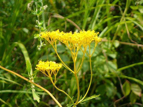 s-黄色の花②20180830