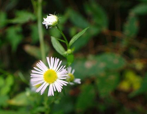 s-白い花20180923