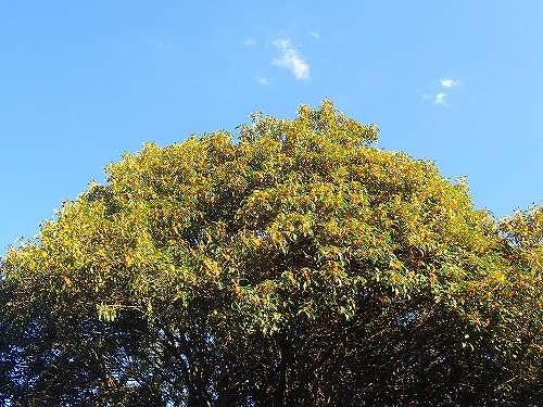 s-キンモクセイの大樹20180928