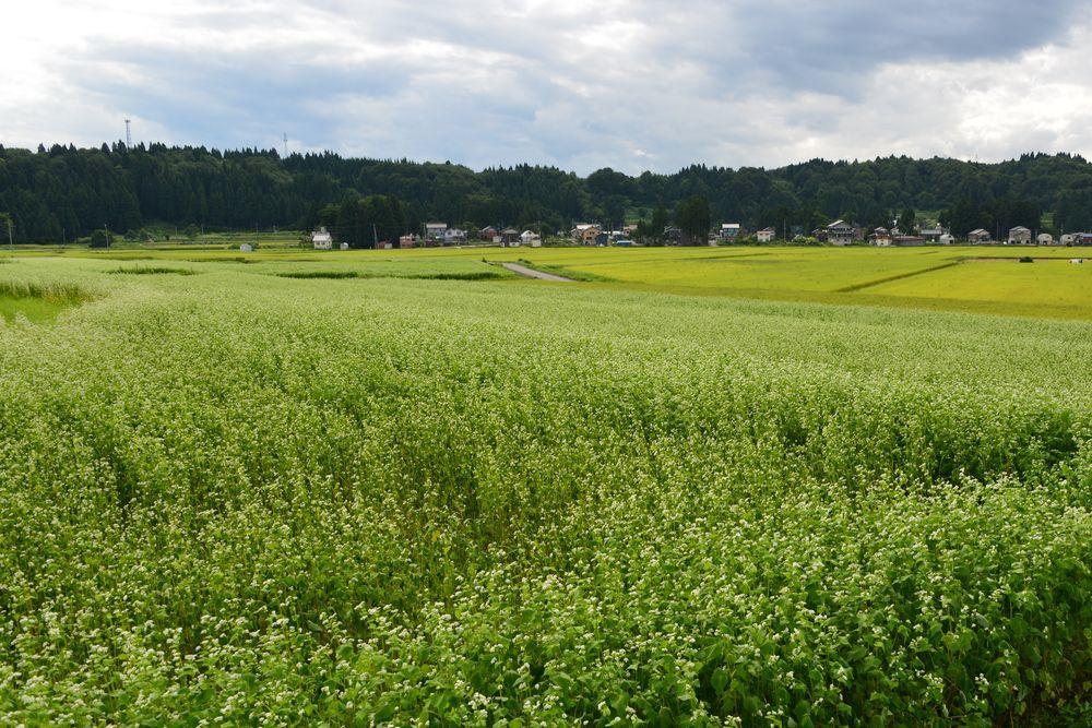 蕎麦畑-1