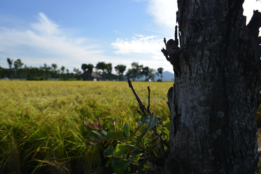 稲刈り-5