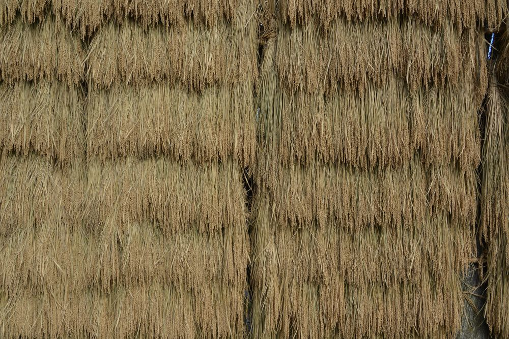 稲干し-2
