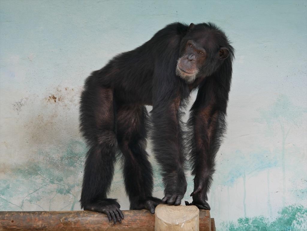 チンパンジー_5
