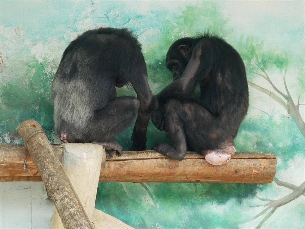 チンパンジー_9