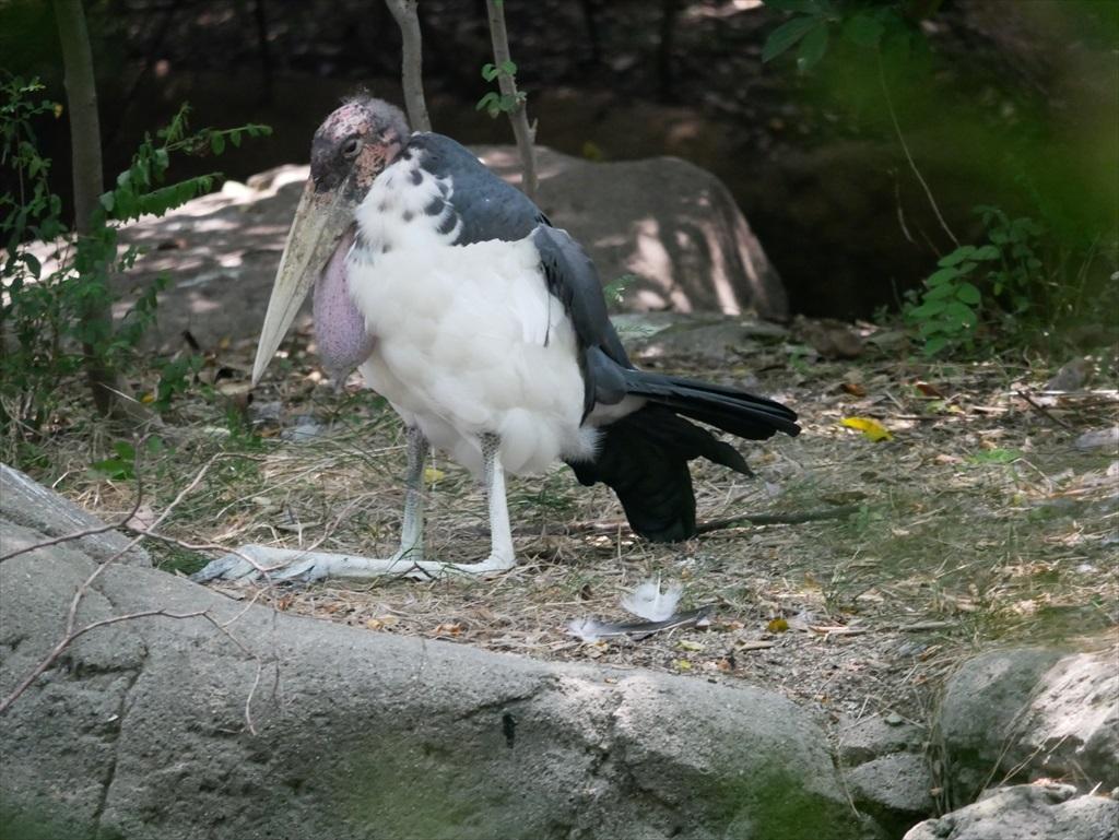 アフリカハゲコウ_1