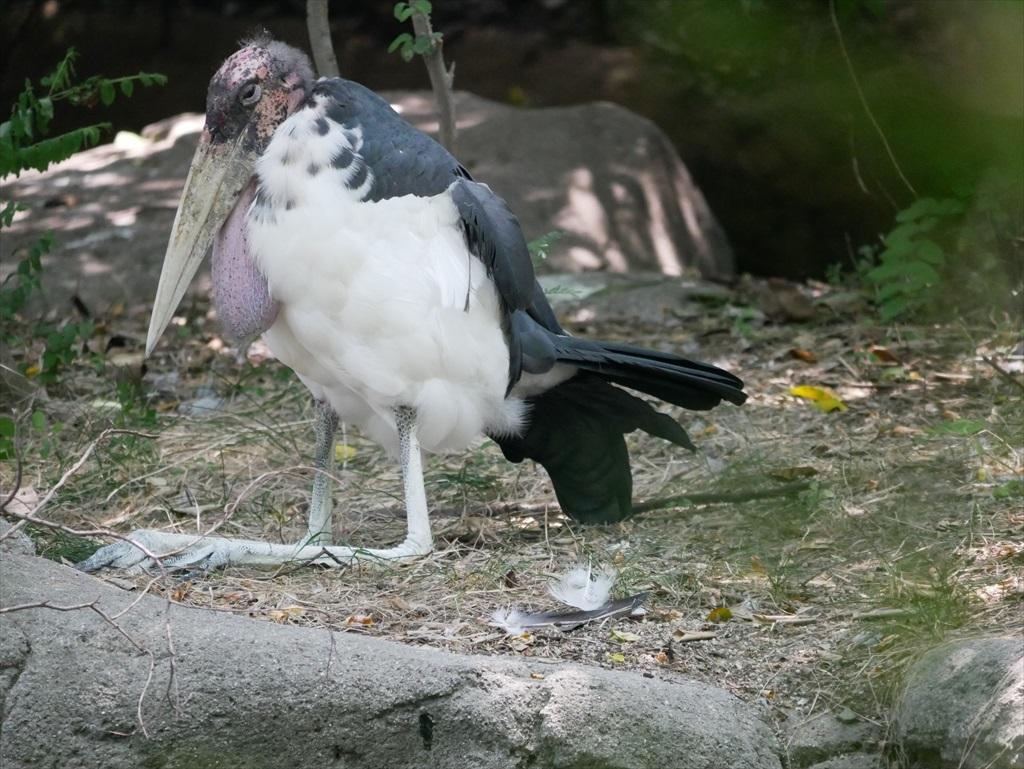 アフリカハゲコウ_3