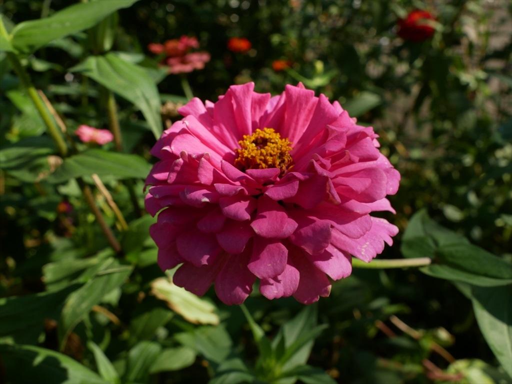 遊歩道の花壇に咲いていた花さんたち_1