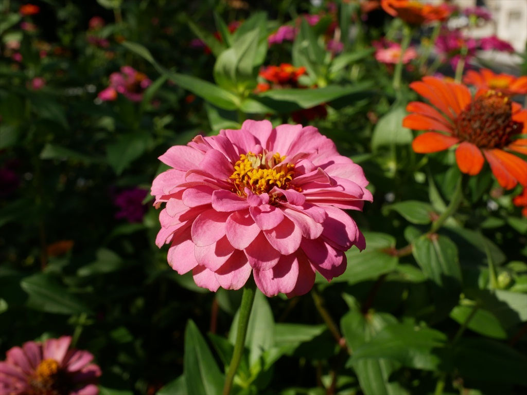 遊歩道の花壇に咲いていた花さんたち_2