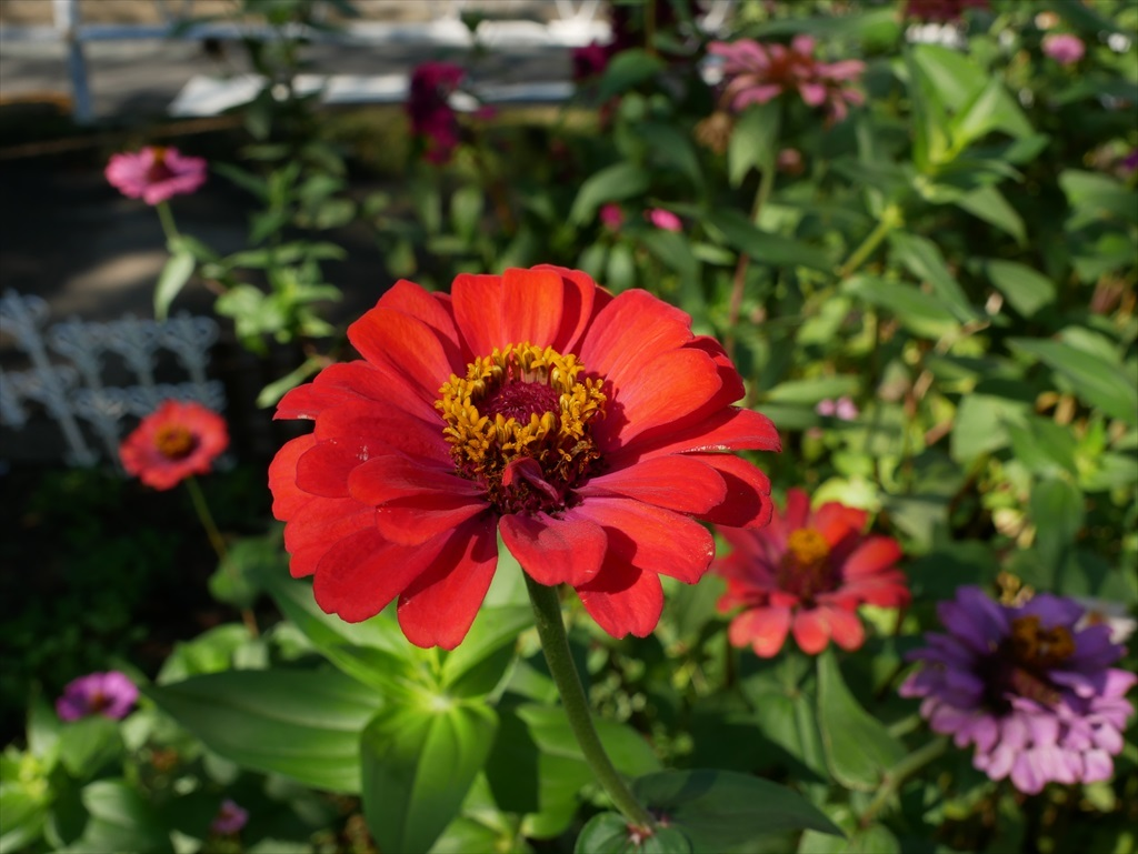 遊歩道の花壇に咲いていた花さんたち_3