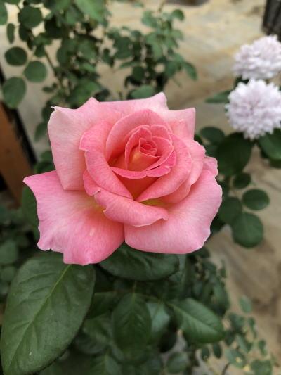 ブログ0915ピンクパラダイス