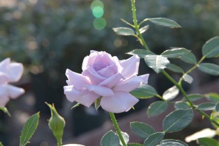 薔薇の海2018.10.3