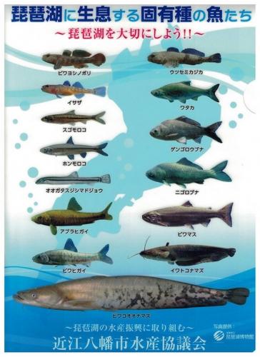 琵琶湖の固有魚クリアファイル