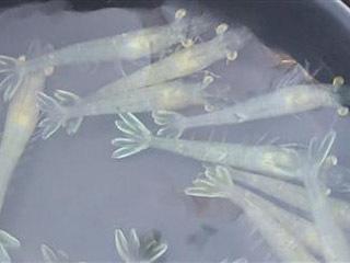 マダイ釣りのエサに使われ始めたパナメイエビ
