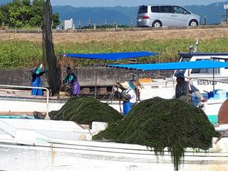 刈り取り後に陸揚げされる琵琶湖の水草