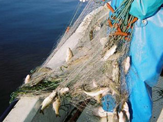 刺し網に掛かった外来魚