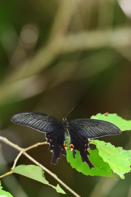 オナガアゲハ180818-2