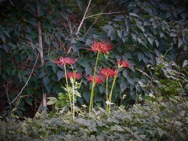 18.9.20 彼岸花とニラの花 (87)