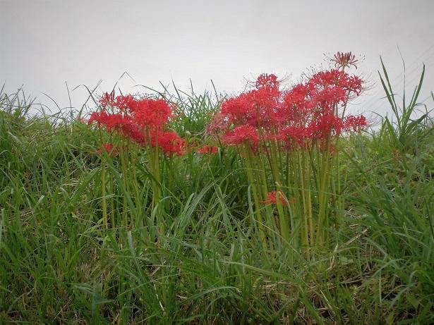 18.9.20 彼岸花とニラの花 (6)