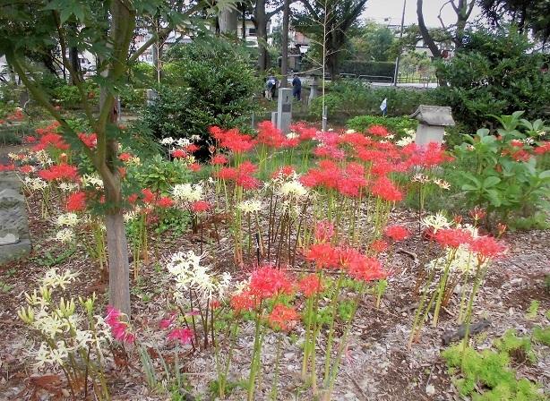 18.9.20 彼岸花とニラの花 (187)