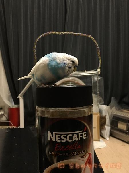 珠霞 インスタントコーヒー インコ セキセイインコ