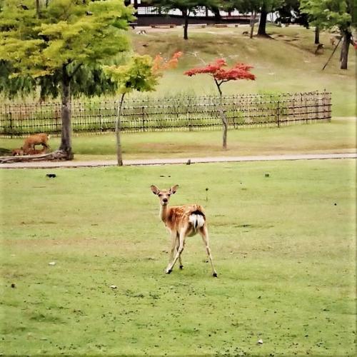 奈良の鹿 500