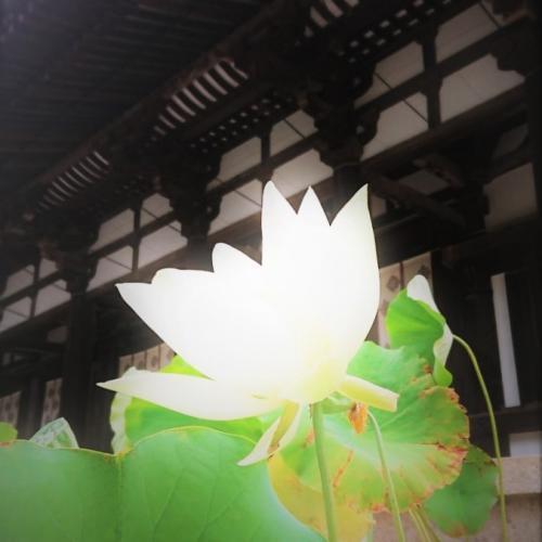 唐招提寺の蓮の花 500