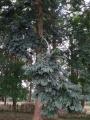 Pycnanthus angolensis2