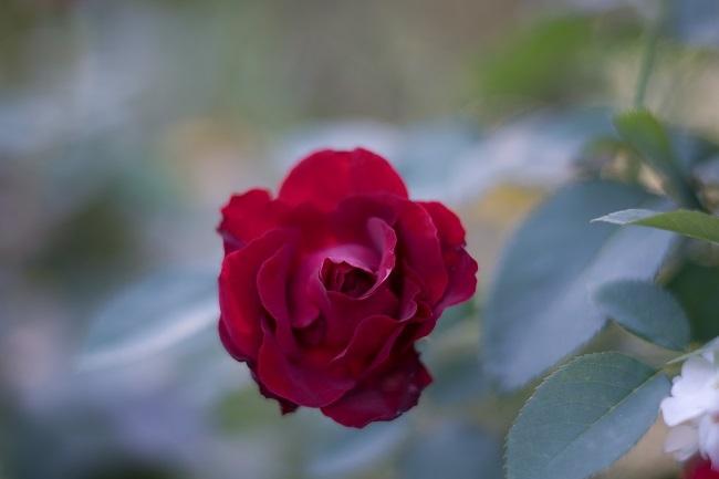 DSC01760薔薇