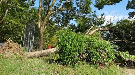根っこから倒れた公園の木1